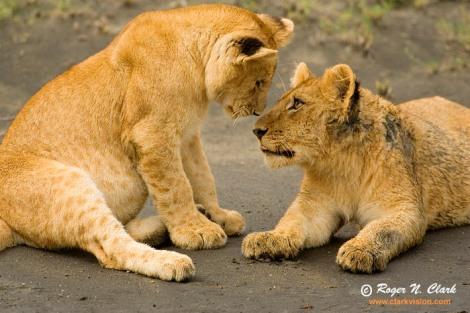 lion.cubs.c01.21.2007.JZ3F9034b-700