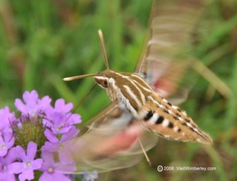 hummingbirdmoth_001