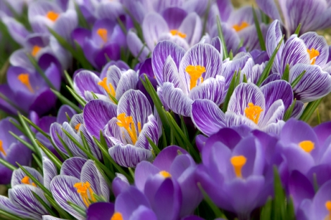 crocus-blooming