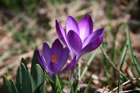 first-spring-flowers-2011-003